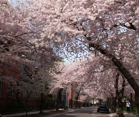 Cherryblossoms2007_1